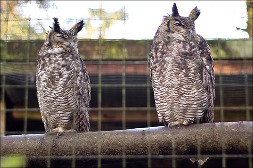 Owls looking down at us with disdain.