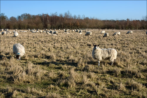 The local sheep seemed content.