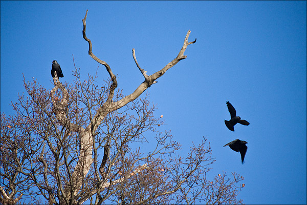Rooks were plentiful in the large trees of the park.