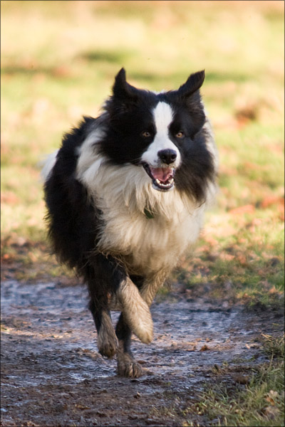 A collie bounding back to his owners.