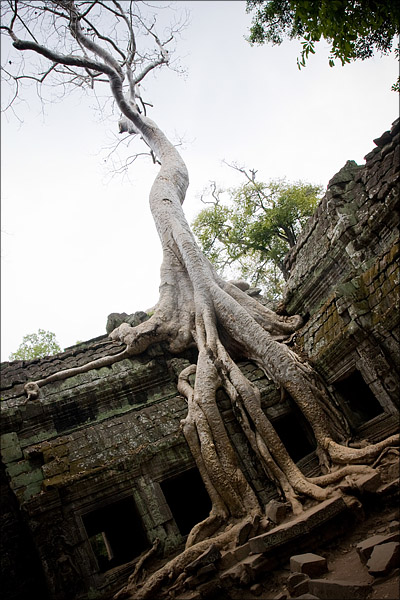 Trees climbing the ruins at Ta Prohm.