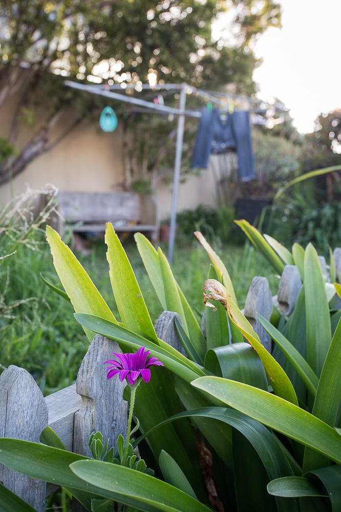 Purple flower, drying jeans
