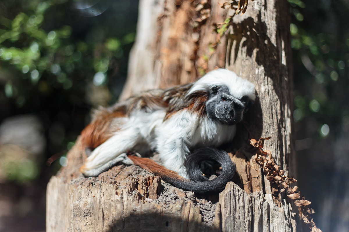 Cotton Top Tamarin in the sun