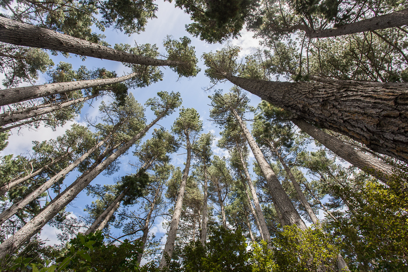 Looking up at the pine canopy