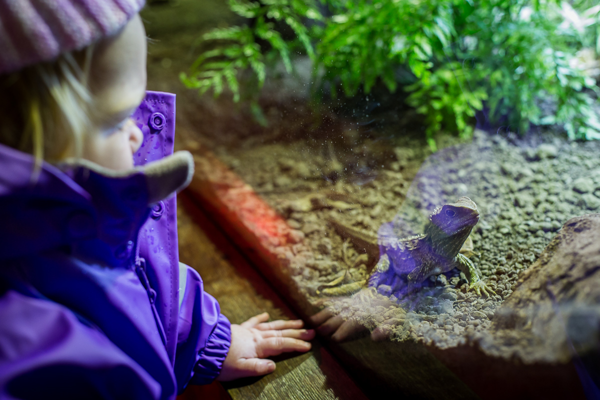 Inspecting a tuatara