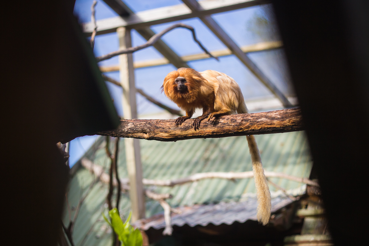 A golden lion tamarin