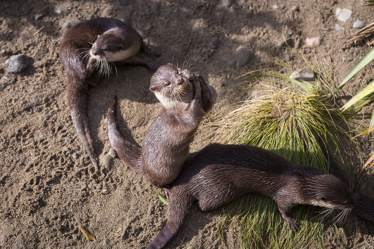 The otter brothers