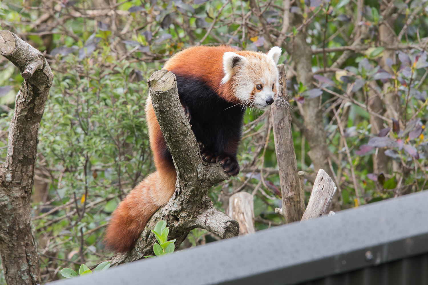 Red Panda youngster
