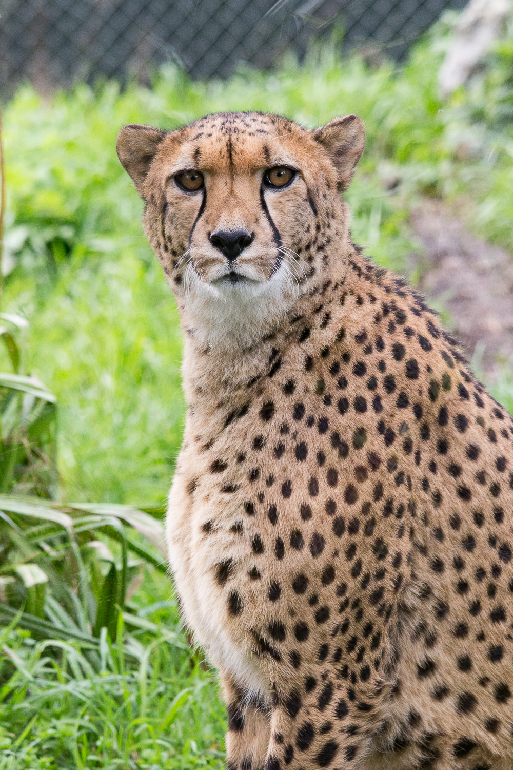 The cheetah stare