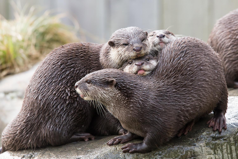 Otter sandwich