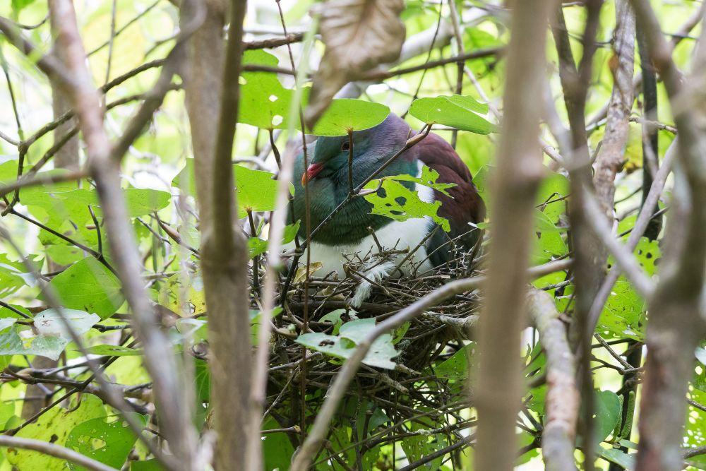 Nesting kereru