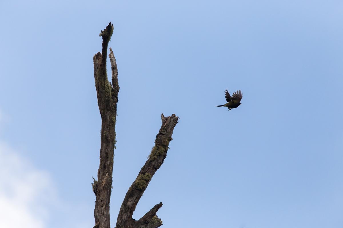 Flying korimako