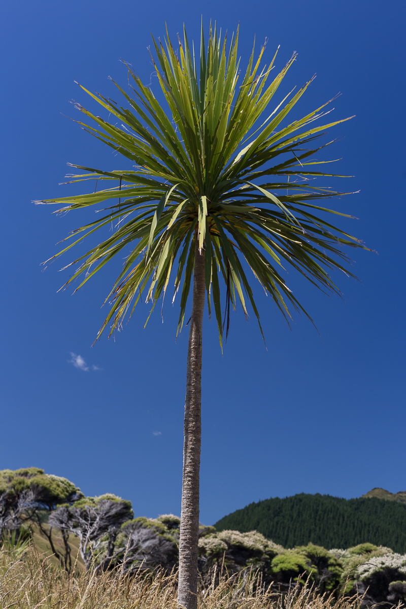 The lollipop cabbage tree