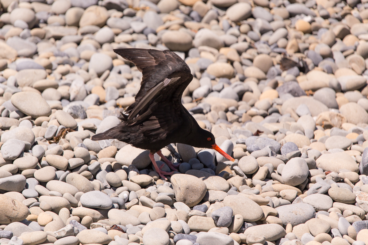 Stretching oystercatcher