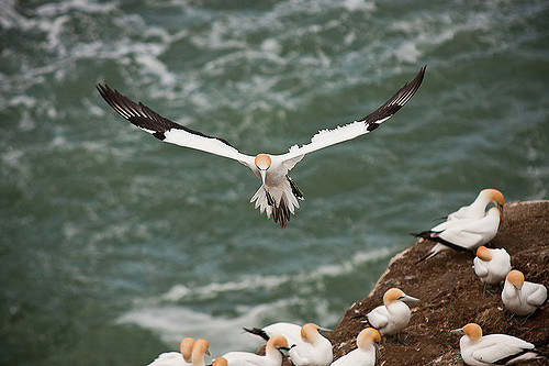 A Muriwai gannet coming in to land