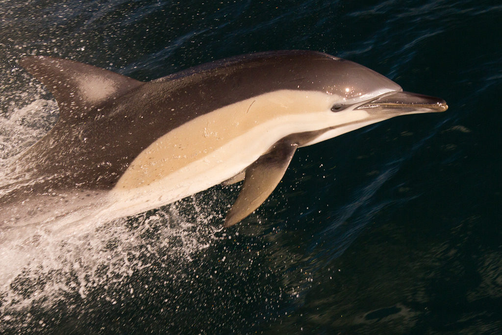 Common dolphin riding the bow wave