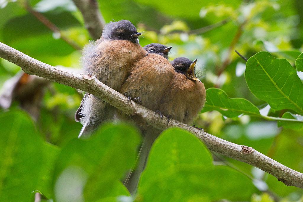 Fantail fledglings