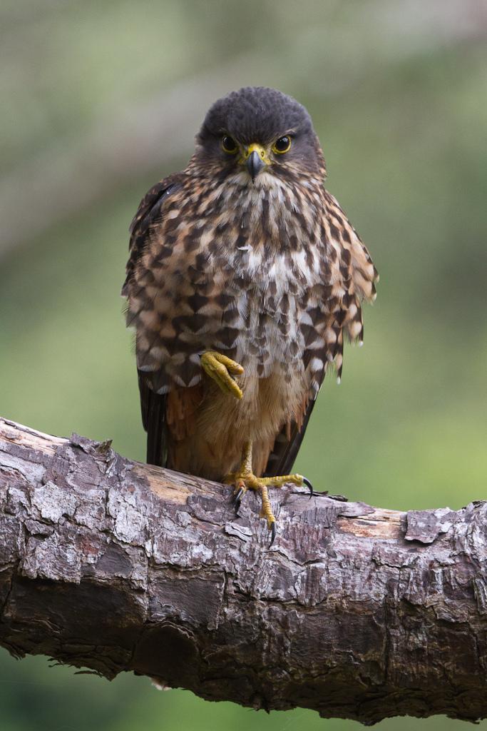 K?rearea (male)