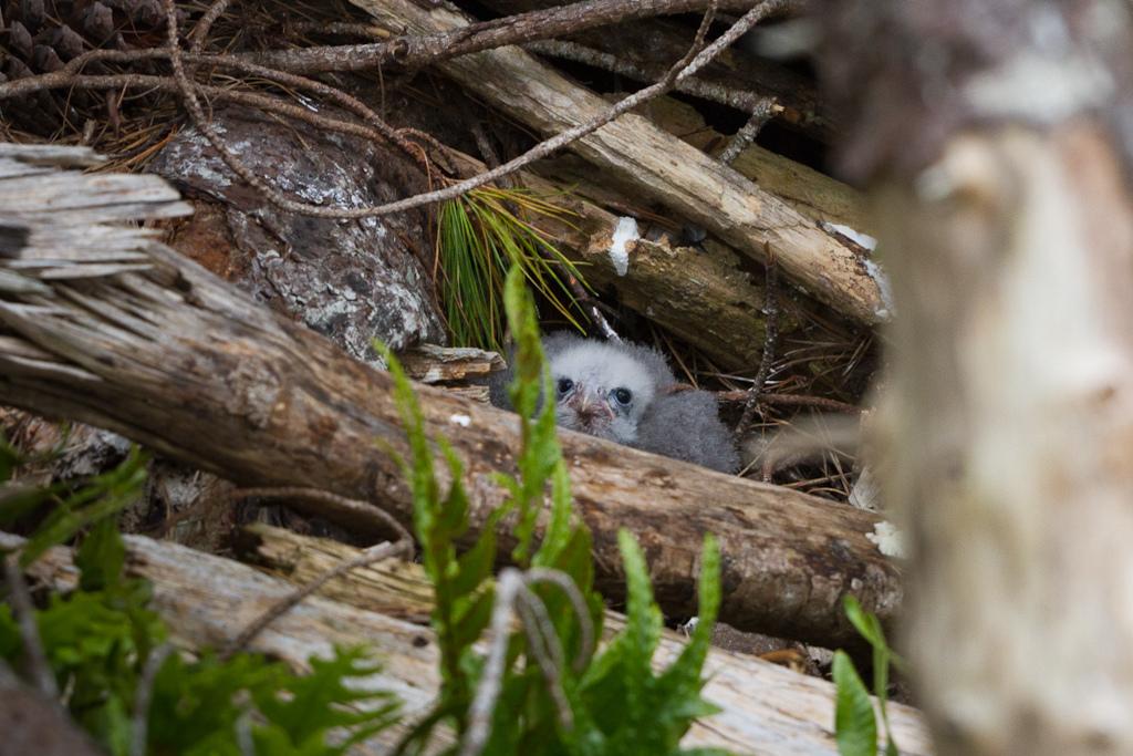 K?rearea (male chick)