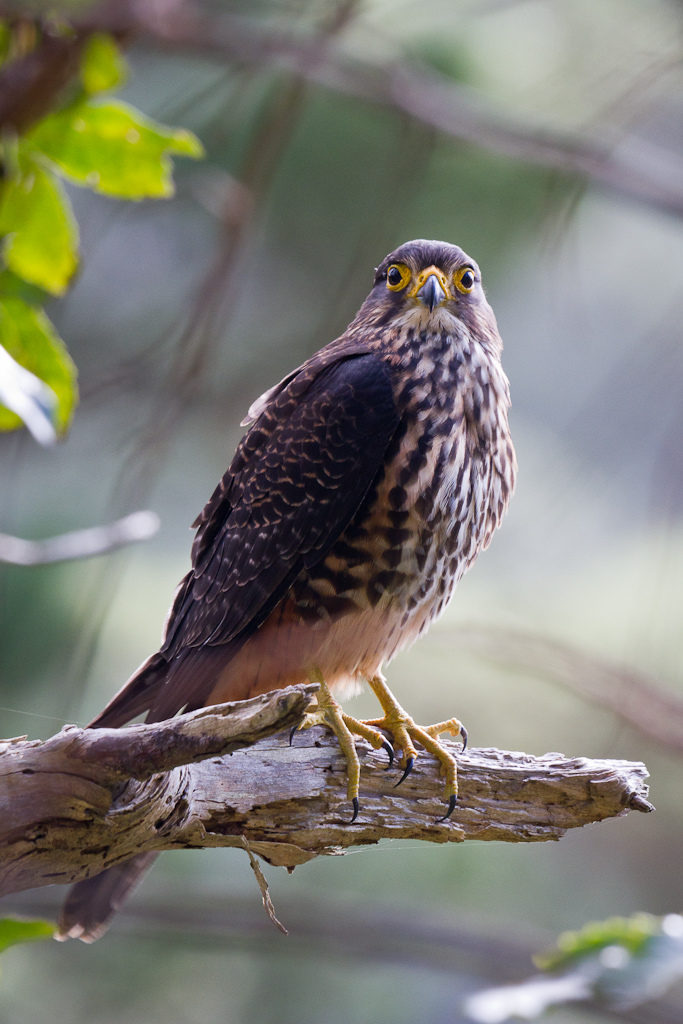 New Zealand Falcon (Karearea)