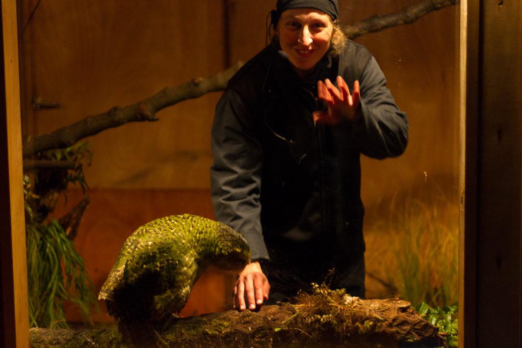 Sirocco the rock star Kakapo at Zealandia