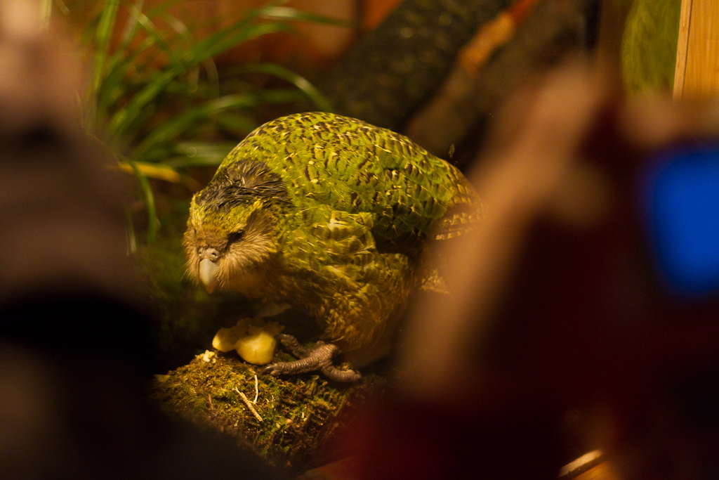 Sirocco the Rockstar Kakapo
