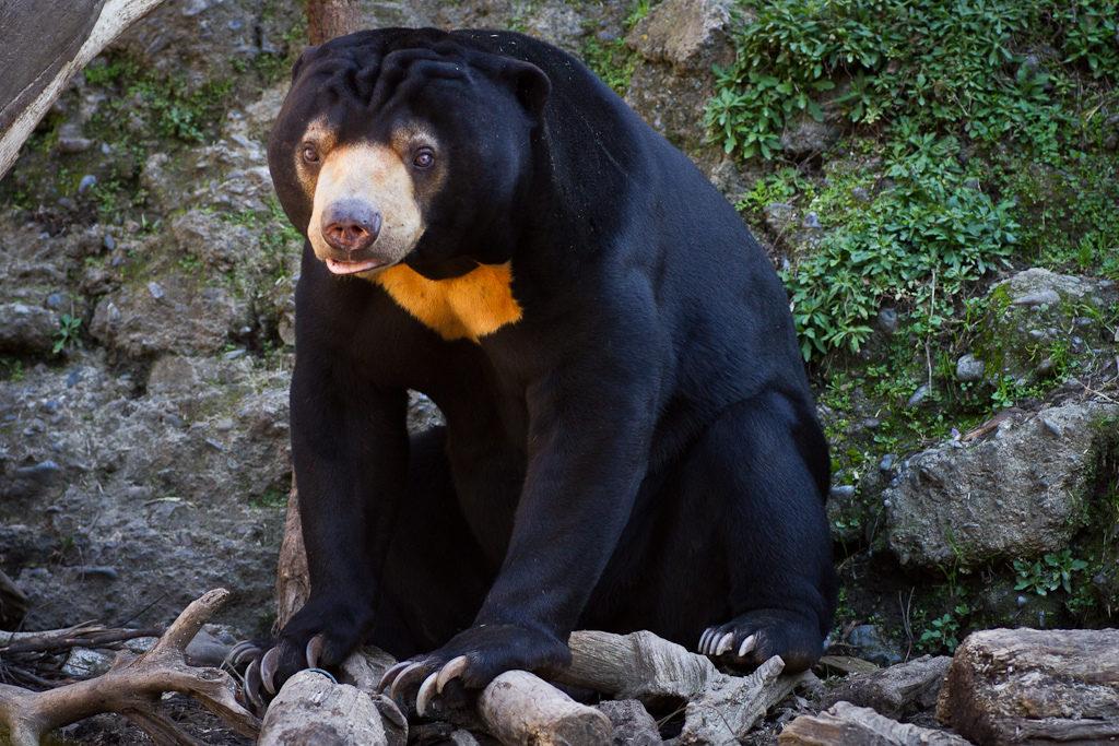 Sun Bear at Wellington Zoo