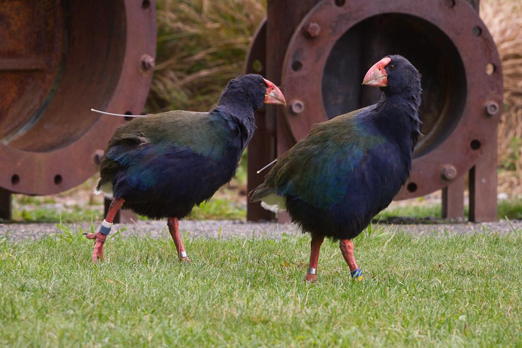 The Zealandia takahe