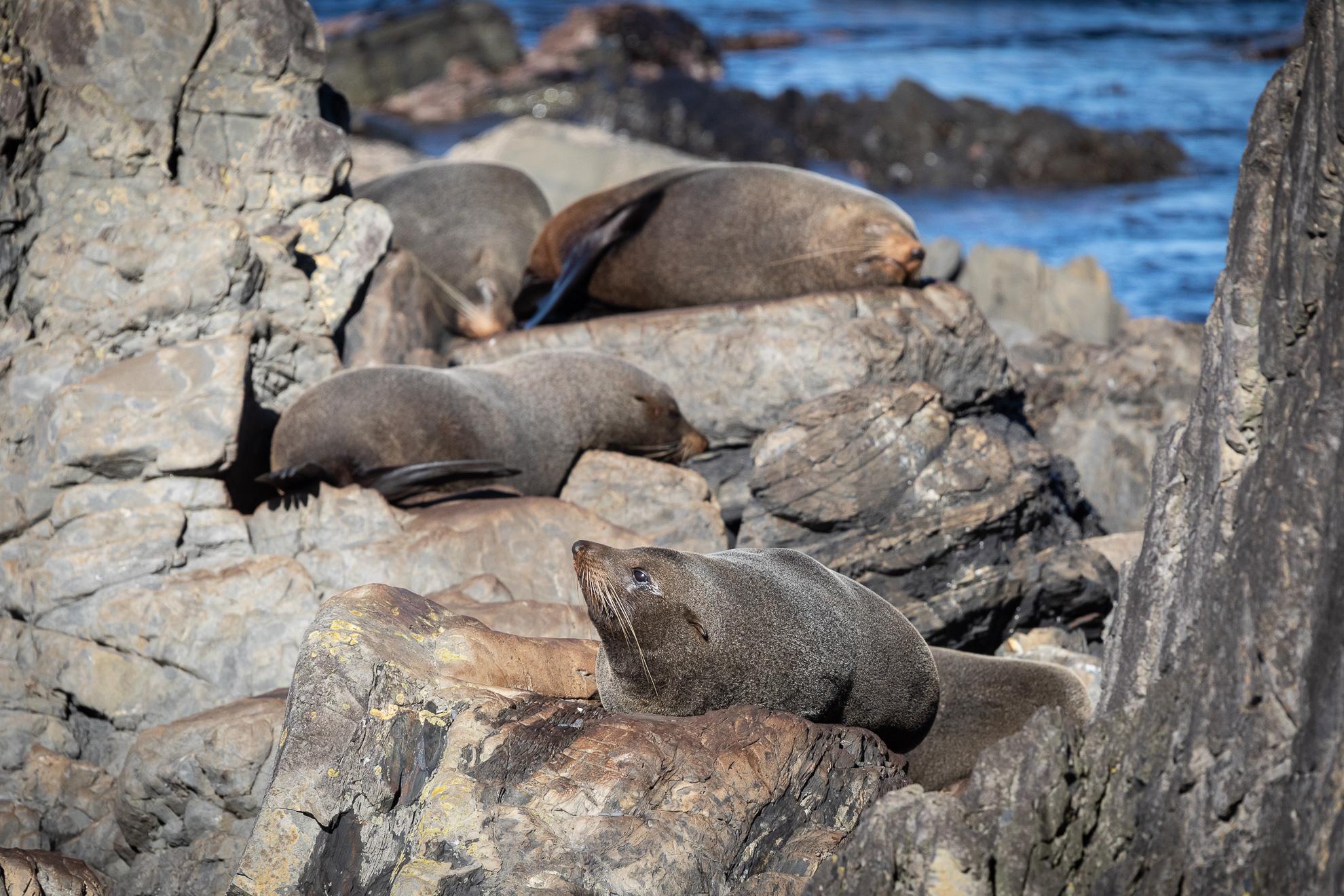 We found the fur seals!
