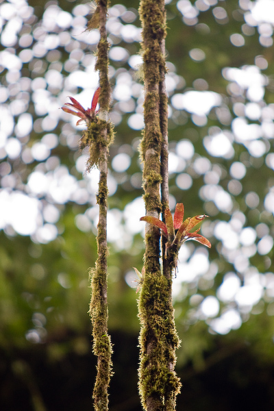 Bromeliads cling to roots in the cloud forest.