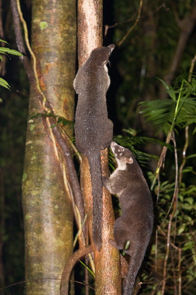 Coati climbing a tree after crossing the path.