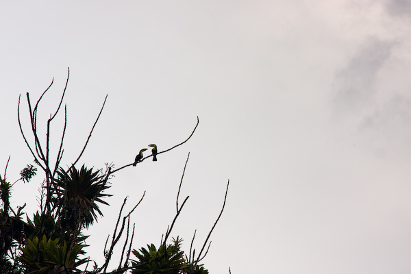 Toucans at play.