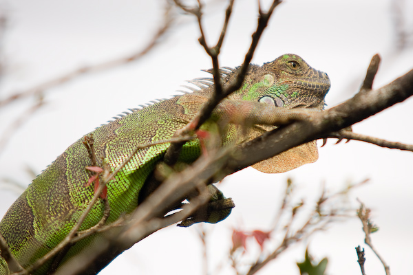 An iguana perched on a branch.