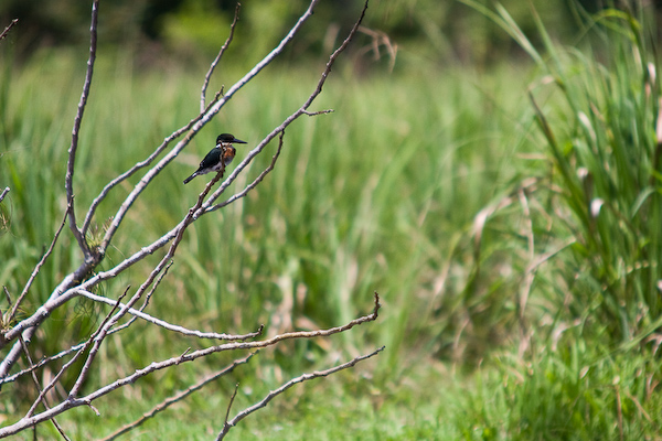 A patient kingfisher.