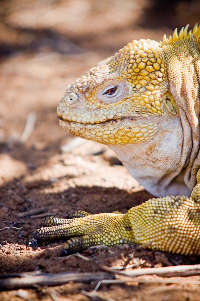 The first land iguana.