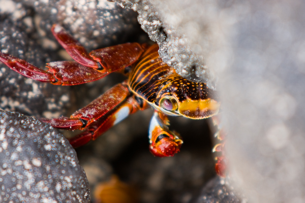 A red crab hides in the rocks.