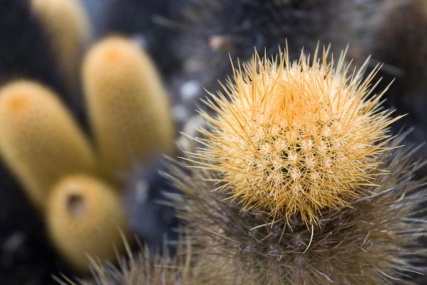 The pioneer cactus.
