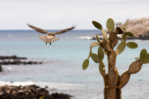 A hovering Galãpagos hawk