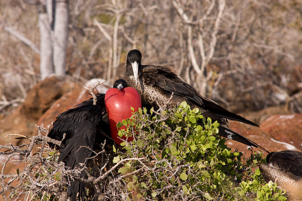 A displaying male frigate bird