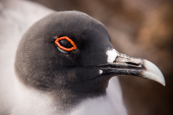 Close up with a swallow tailed gull