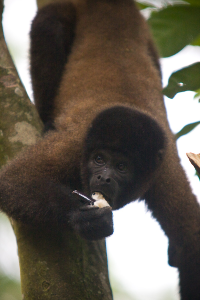 A young woolly monkey