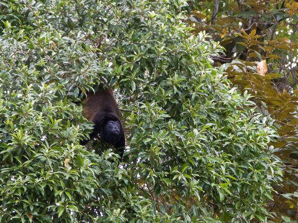 A howler monkey in conversation.