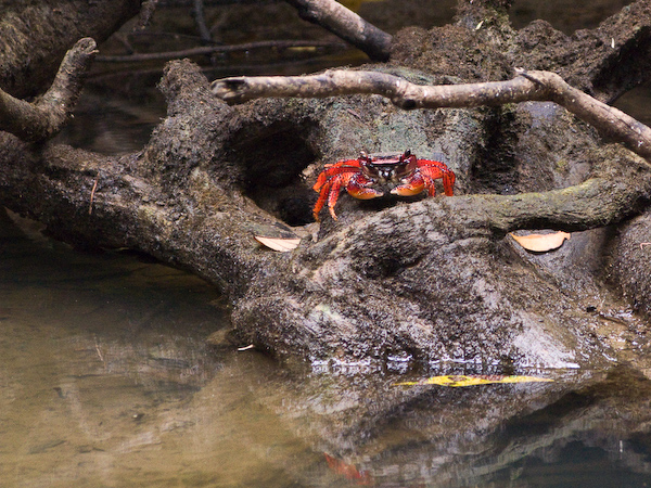 A red crab watching warily.