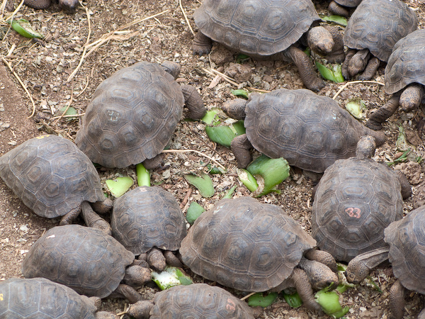 Baby giant tortoises get to know each other.
