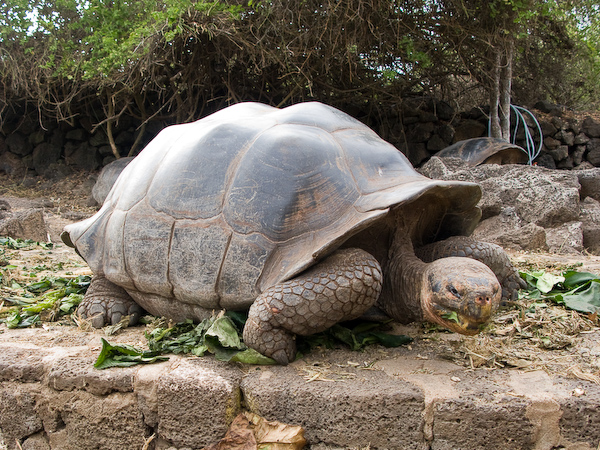 One of the older giant tortoises.