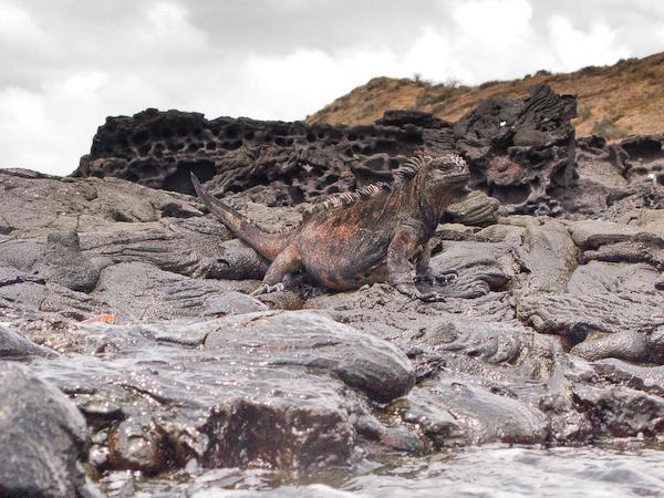 The marine iguana shot from the water.