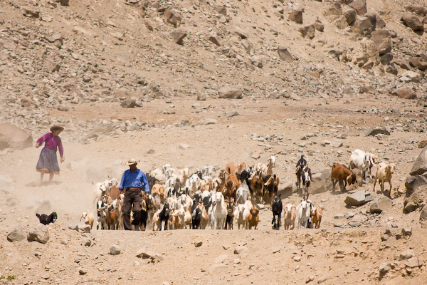 Herding goats down the mountain