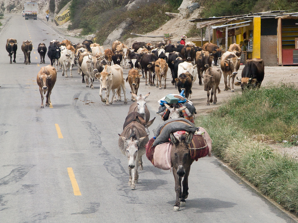 Donkey and cattle on the road