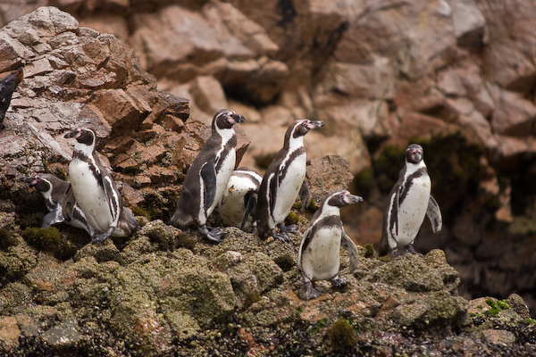Penguins on the Ballestas Isles
