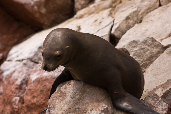 A melancholy sea lion